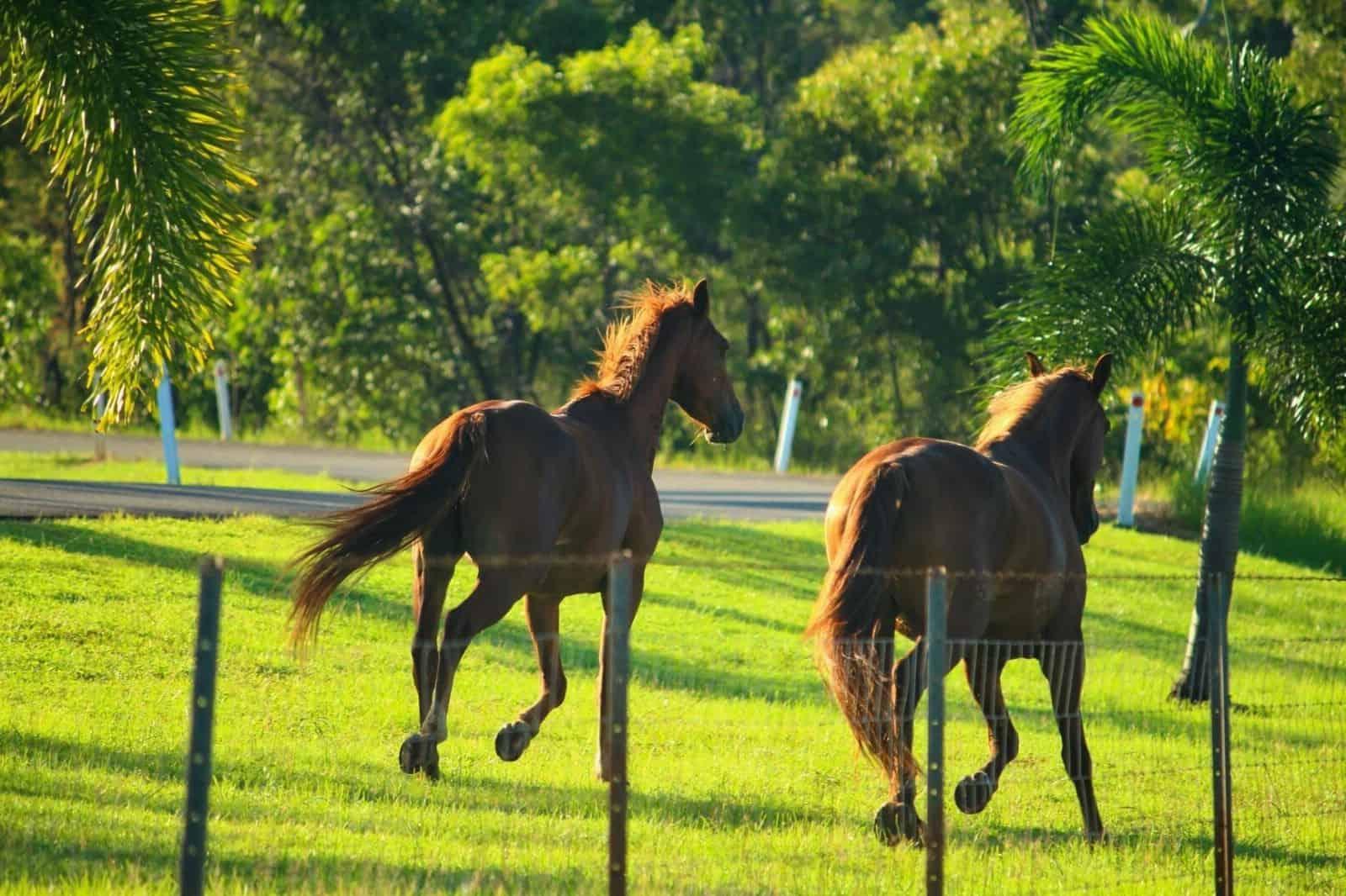 Wild Horses of Lockhart River